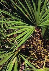 Saw Palmetto Nut Oil