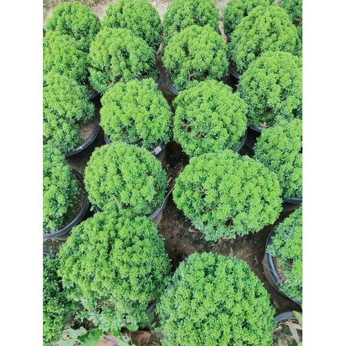 Full Sun Exposure Indoor Decorative Plant Rs 90 Plant Zen Garden Id 22037148491