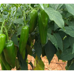 Green Chilli Seeds HYB - 42