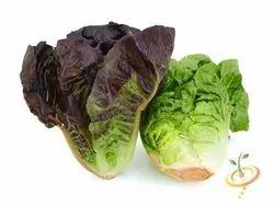 Green Lettuce Red Romaine