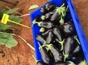 Aubergine Sharapova Seeds (Bottle Brinjal)