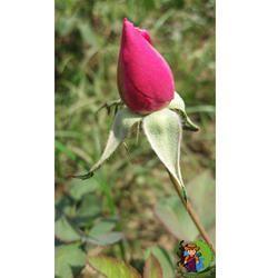 Desi Rose Plant