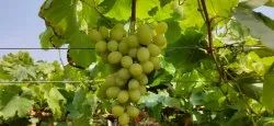 A Grade Thompson Table Grapes, For Human Consumption
