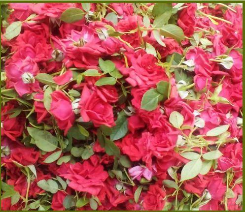five star rose flowers - view specifications & details of rose