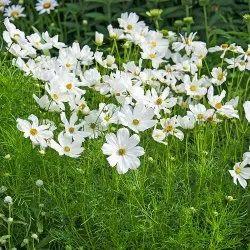 White Cosmos Flower Seeds