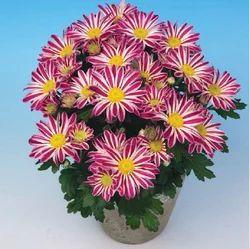 Robinho Chrysanthemum Pot Plant