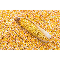 Corn Seeds, Pack Size: 200g