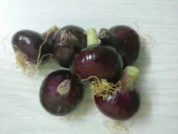 Rose Onion KP