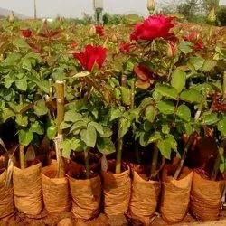 Well Watered Red Dutch Rose Plant