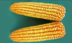 Corn F1 Hybrid Hicorn 1010