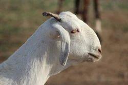 Goat Farm Consultancy Service
