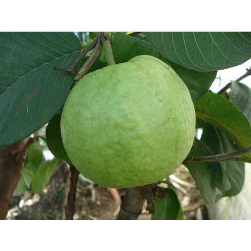 Well Watered Green Seedless Guava Plants, Packaging Type