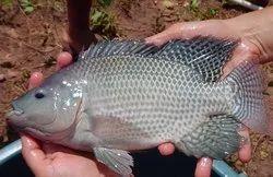 live tilatia fish