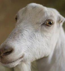 Toggenburg Goat and Kiko Goat Service Provider | Friends