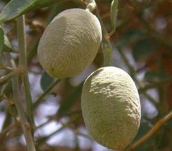 Hingot Fruit - Dronapushpi. - Hinguputra