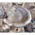 Natural Florida Oyster Mushroom Spawn, Packaging Size: 500gms, Packaging Type: Pp Bag