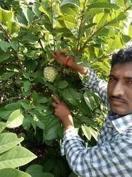 CUSTERD APPLE FRUIT PLANTS