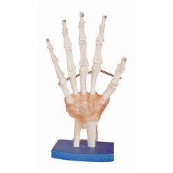 Life-Size Hand Joint Models with Ligaments