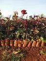 Top Secret Dutch Rose Plants