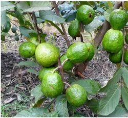 Seedless Guava Plants