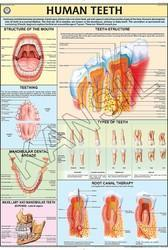 Human Teeth  For Human Physiology Chart