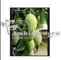 Mallika Mango Plants