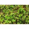 Bacopa Leaf