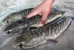 Shol Fish