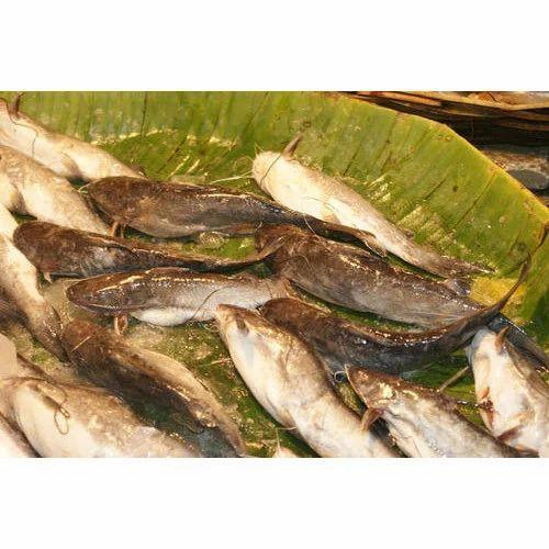 Singhi fish food