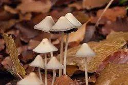 Natural Mushroom - Milky, White, Black, Dry, Dehydrated, Sponge Mushroom