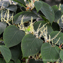 Giant Knotweed Extracts