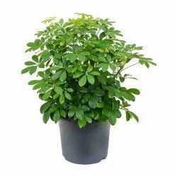 Schefflera Arboricola Indoor Plant