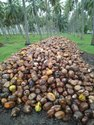 Pollachi Fresh Coconut