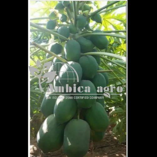 Honey Dew Papaya Plants Rs 13 Piece Ambica Agro Id 6247308012