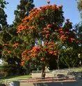 Spathodea Tree
