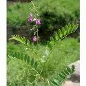 Tephrosia Purpurea (Sharpunkha)