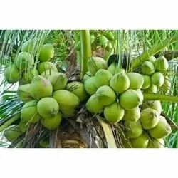 A Grade Solid Organic Tender Coconut, Packaging Size: 10 Kg, Coconut Size: Large