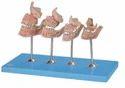 Development of a Set of Teeth Model