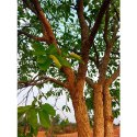 Terminalia Chebula Tree