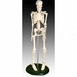 Mini Skeleton Model