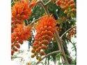 Colvillea Racemosa Plants