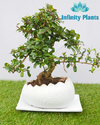 Carmona Bonsai Live Plan