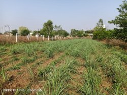 Citronella new plantation