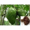Graviola Extract (Annona Muricata)