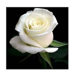 White rose natural flowers armd flowers plants chennai id white rose mightylinksfo
