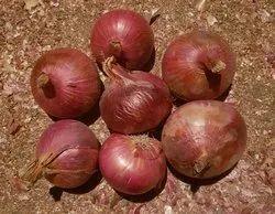 Puna Fursungi Onion Seed