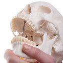 Human Skull Model on Cervical Spine, 4 part