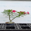 Adenium Plant (Kudu, Mock Azalea)