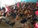 红色和棕色desi母鸡,包装大小:笼子,80天