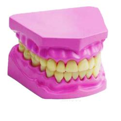 Small Dental Model